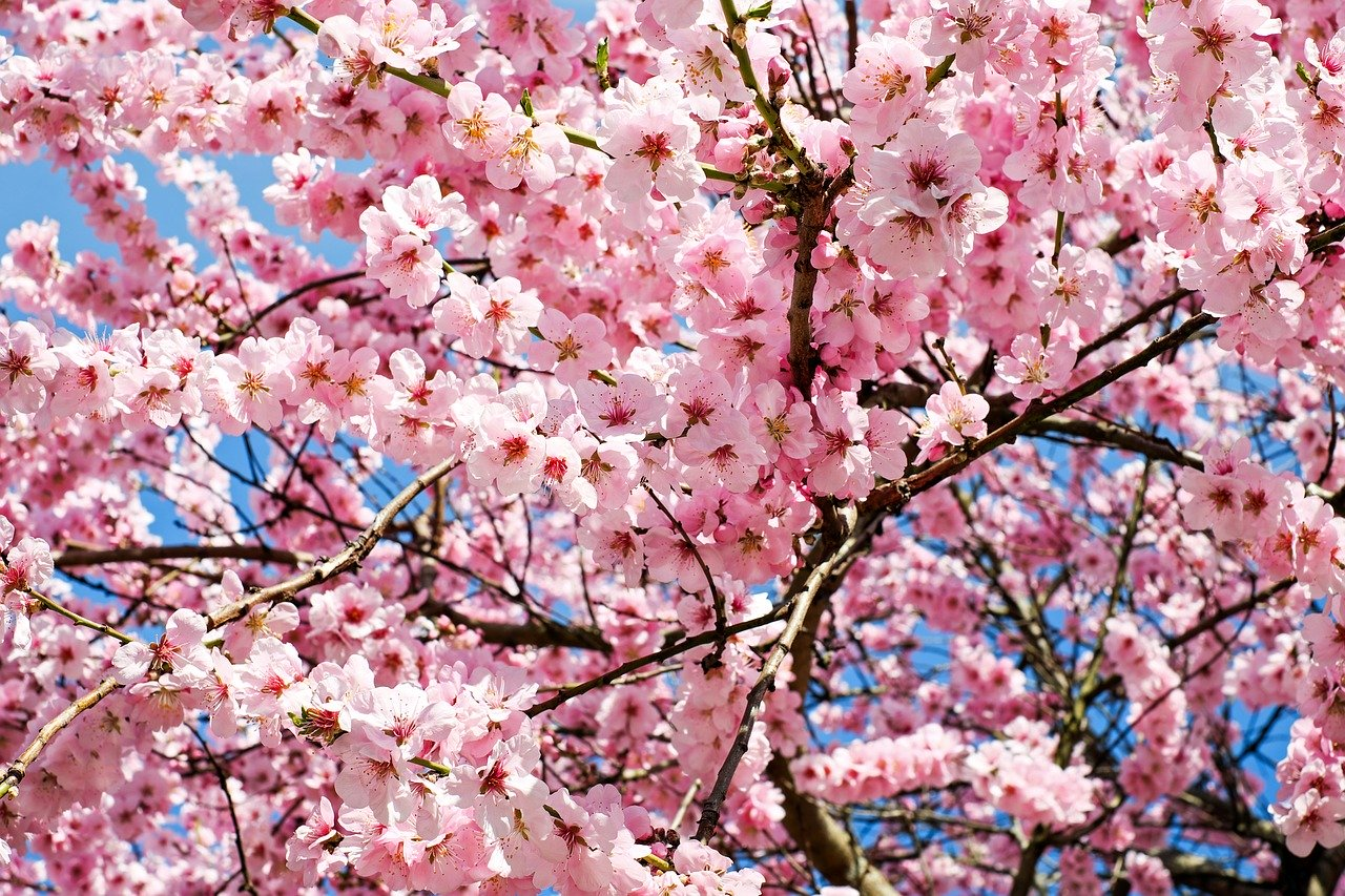 Where To Go For The Most Beautiful Cherry Blossoms In South Korea