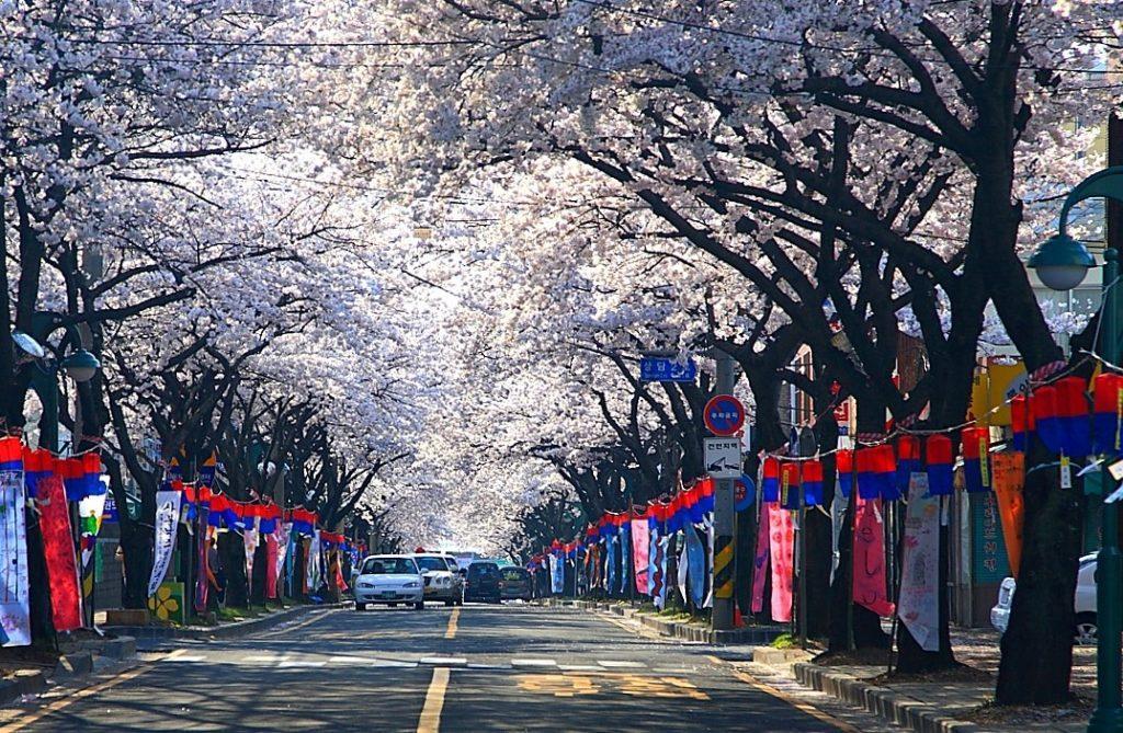 south korea blossoms
