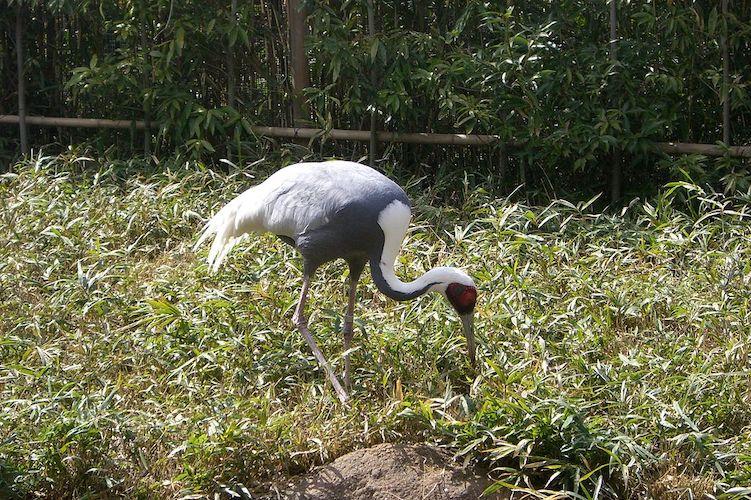 white named crane
