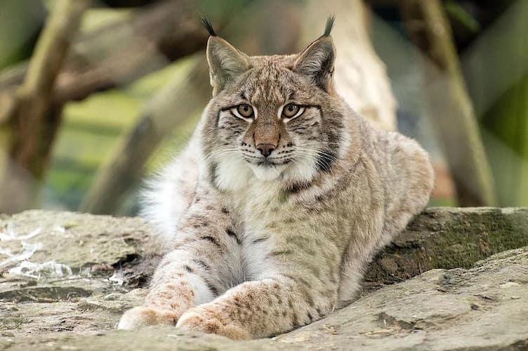 lynx south korea
