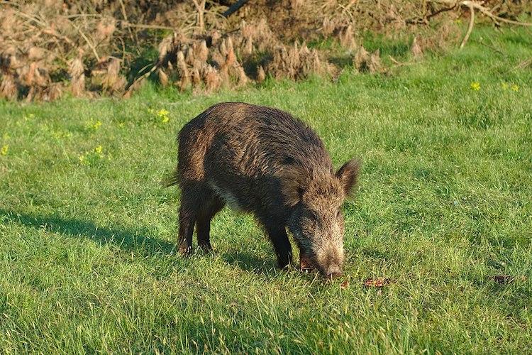 wild boar south korea