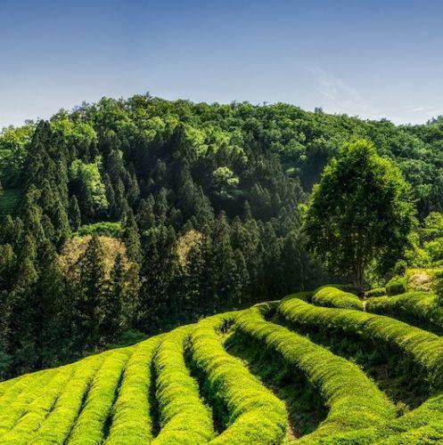 Boseong: Green Tea Plantations