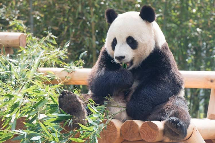 everland panda
