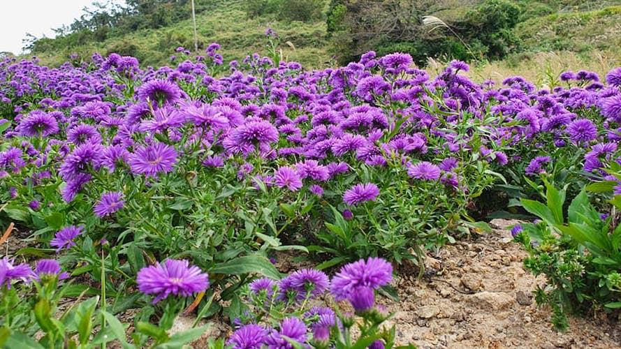 purple island Korea flowers