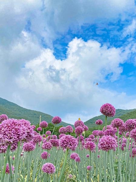 summer flowers korea garlic